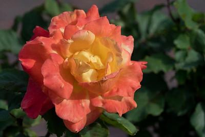 2020 07 07: Walking Near the Neighborhood, Rose Garden