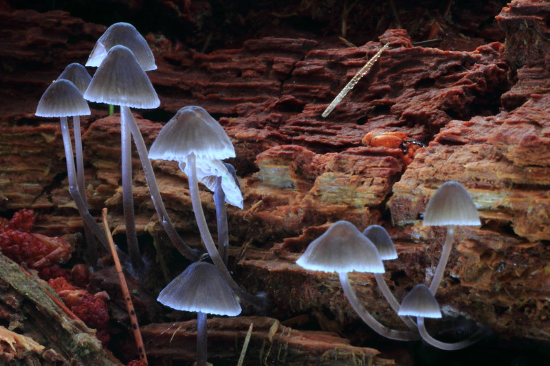 Mycena Stipata-Crex Meadows Visitor Center