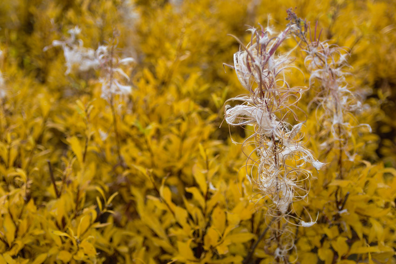 Fireweed and Willow