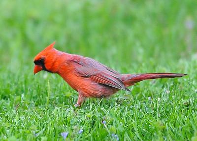 130427 Backyard Cardinal