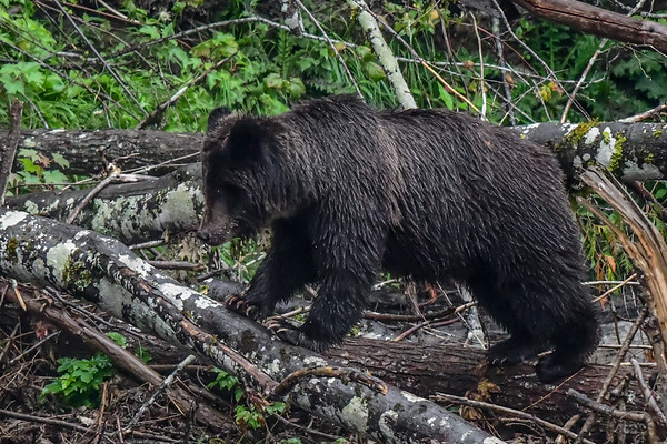 9-21-18 Grizzly Mom & 2 Cubs II