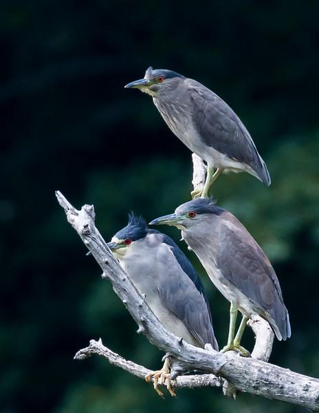 Night Herons -0918.jpg