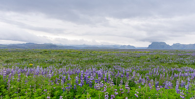 Field of Lupins, Iceland