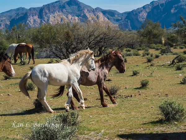 Wild Mustangs - Arizona
