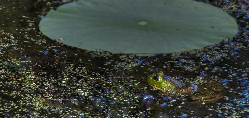 lotus water lilies-_1.jpg
