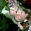 White Frogfish <br /> Bali