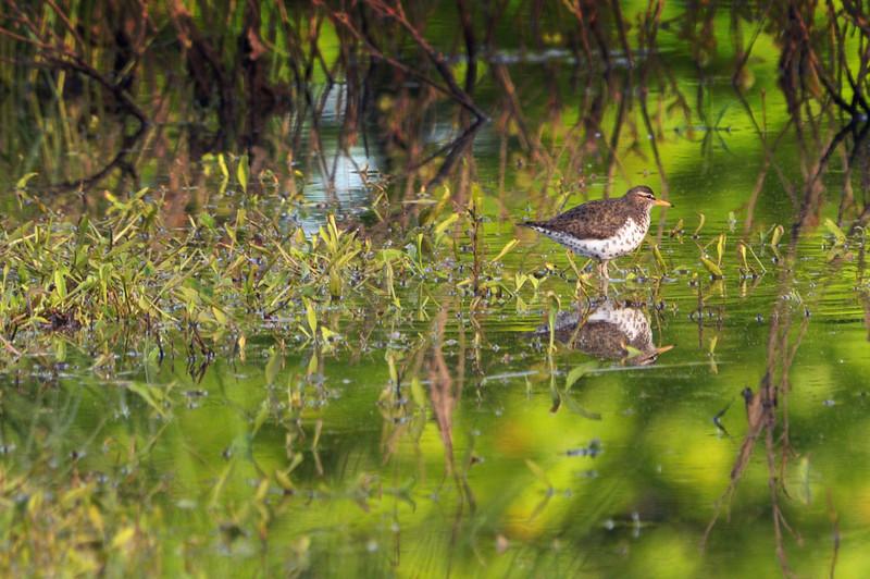 Spotted Sandpiper, WHQ restored wetland.
