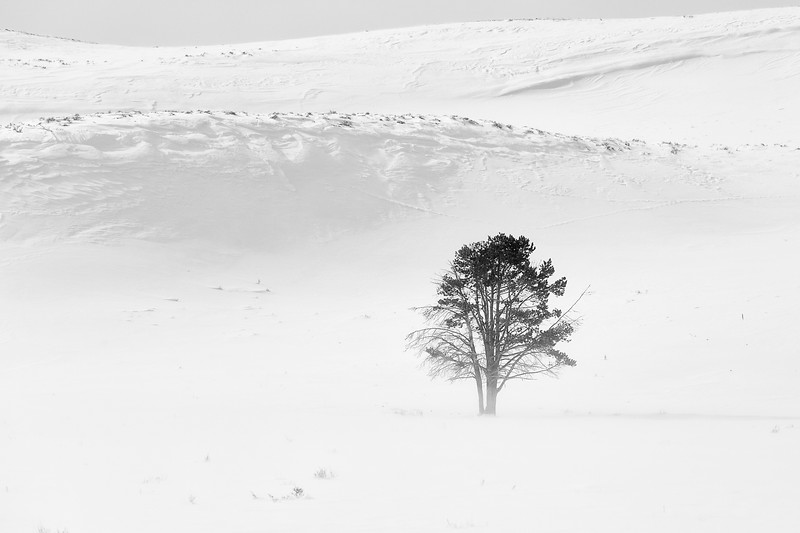 Lamar Valley Tree