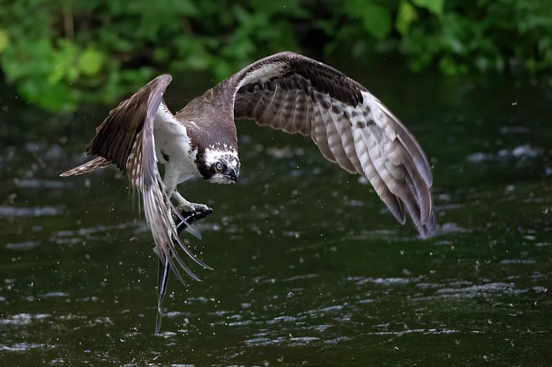 #1210 Osprey