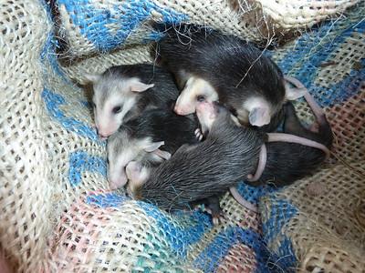 Baby Virginia Opossums 3/7/2012