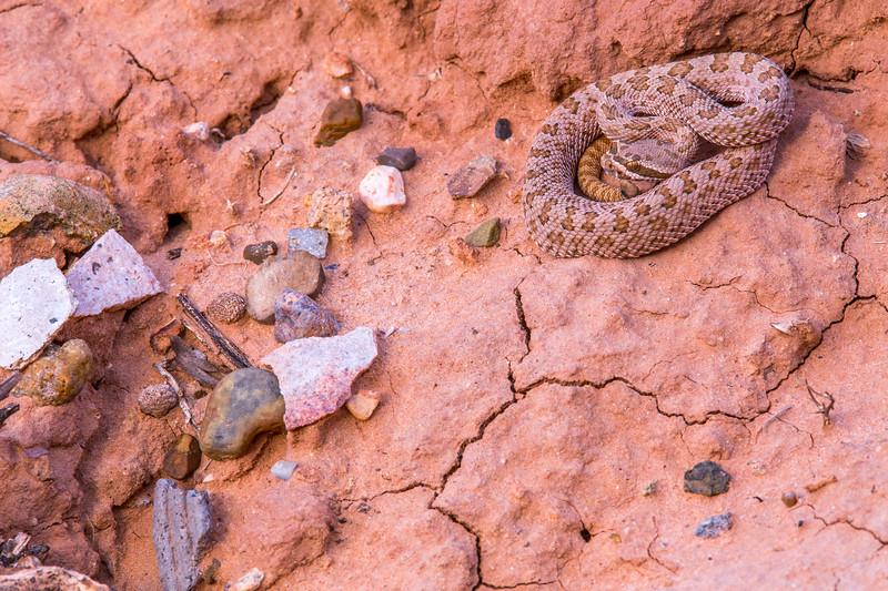 Prairie rattlesnake (Crotalus viridis) with lithics and corrugated ceramics, Bears Ears, San Juan County, Utah
