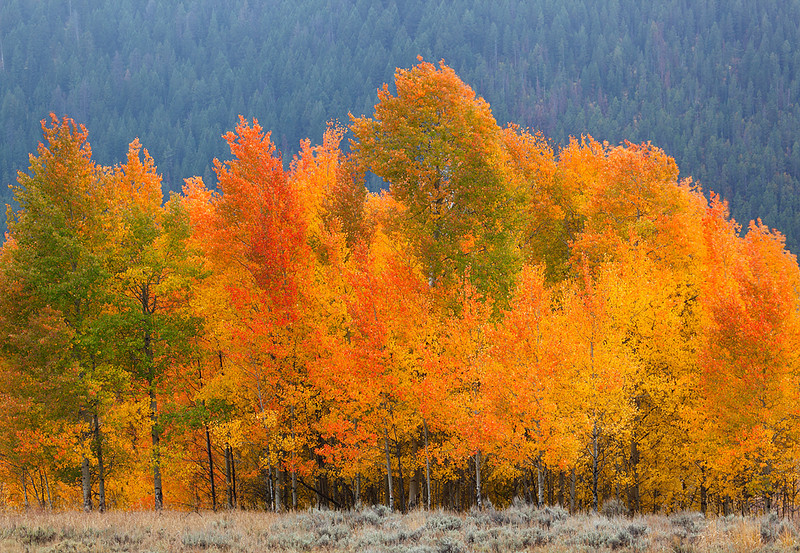 Blazing - Aspen (Grand Teton National Park)