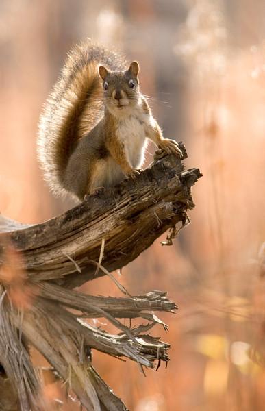 red squirrel001.jpg