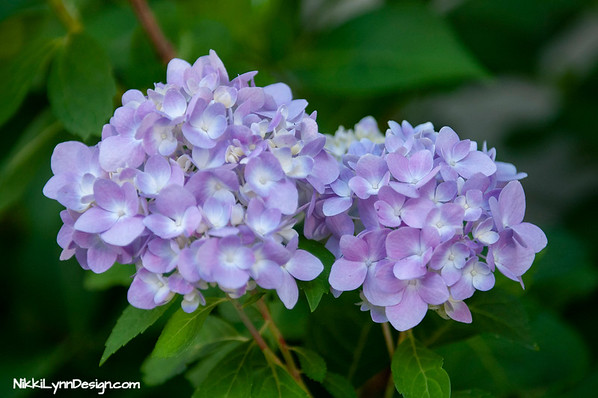 Shrub. Grows up to 15 feet in height and comes in a variety of colors. You can change the color of most flowers.