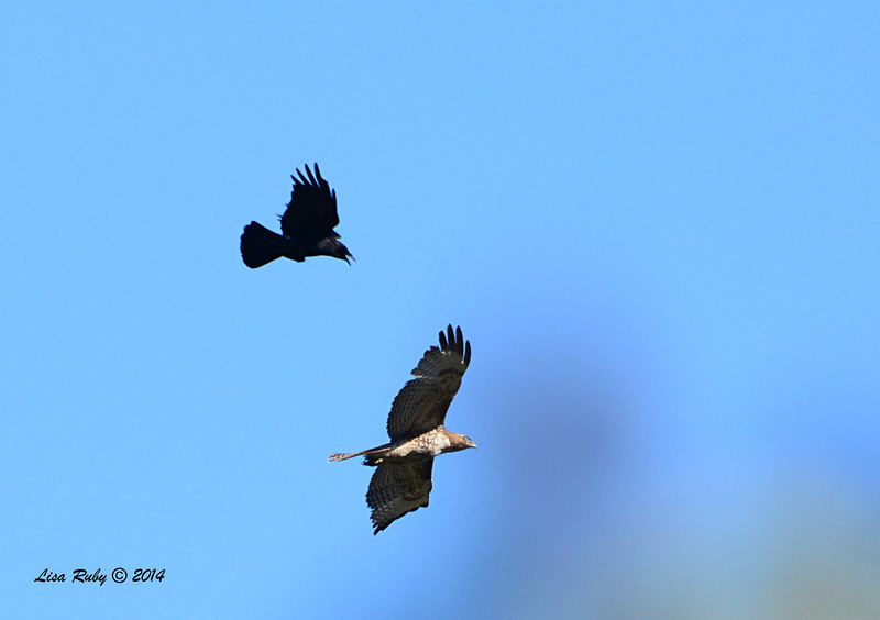 Red-tailed Hawk and Crow - 3/30/14 - Lake Hodges,Lake Drive