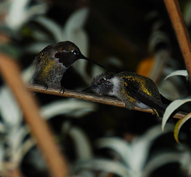 Anna's Hummingbird Pair - 1/3/2008 - Backyard, Sabre Springs