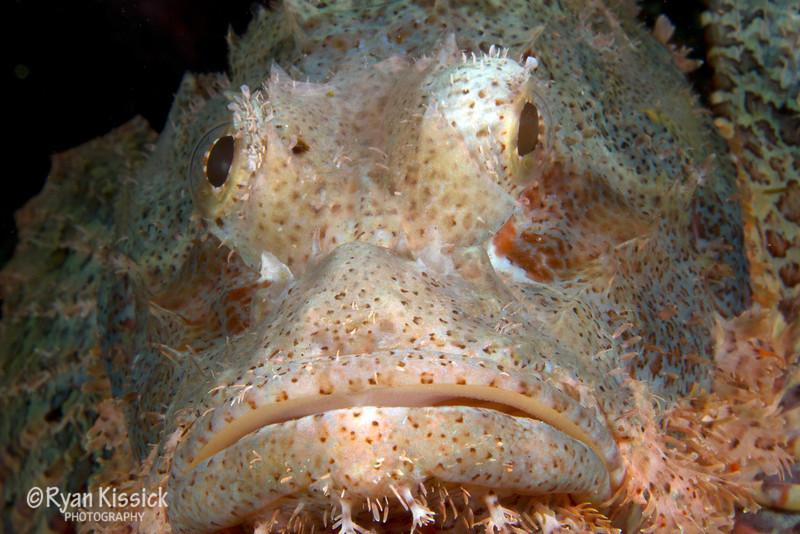 Scorpionfish face