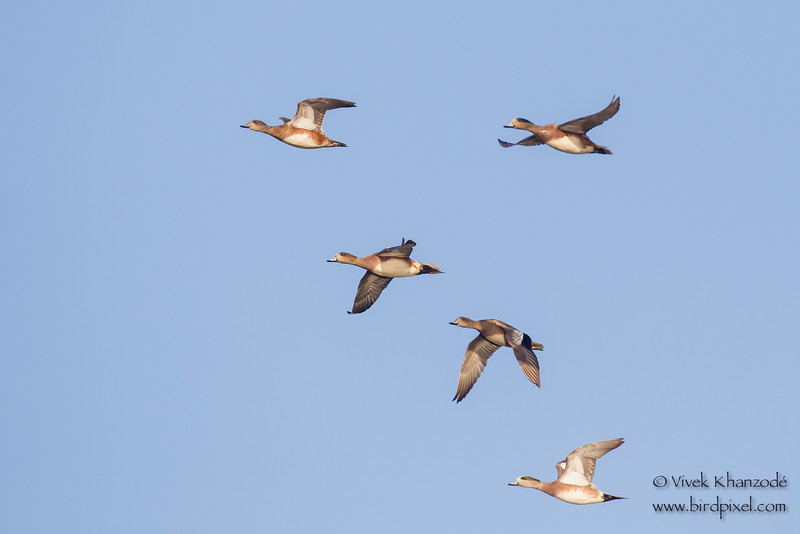 American Wigeons in flight - Bird Haven Ranch, Butte City, CA, USA