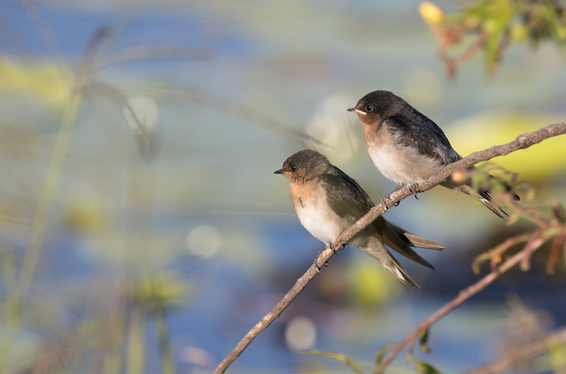 Young welcome swallows, Sunshine Coast