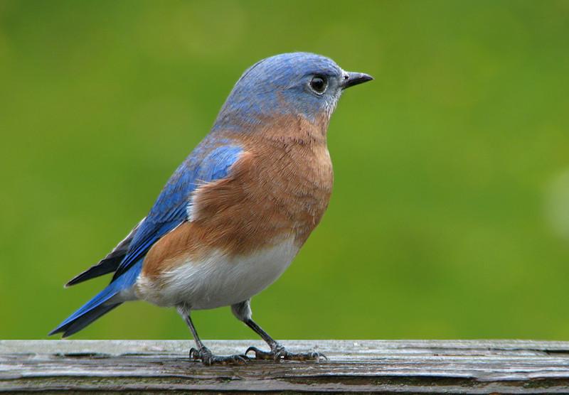 bluebird_fledgling_5025a.jpg