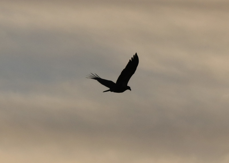 eagle at dusk.jpg