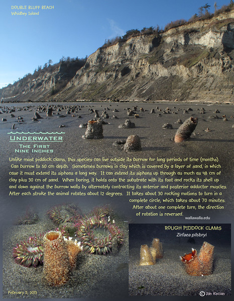 ROUGH PIDDOCK CLAMS	( Zirfaea pilsbryi ).  Double Bluff beach, Whidbey Island. February 2, 2013