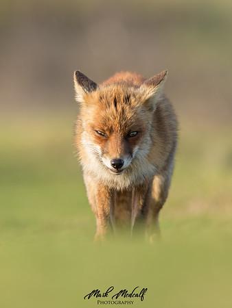 Red Fox Workshop