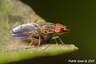 Treehopper Mimicking Fly