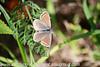 Brown Argus Aricia agestis (2)