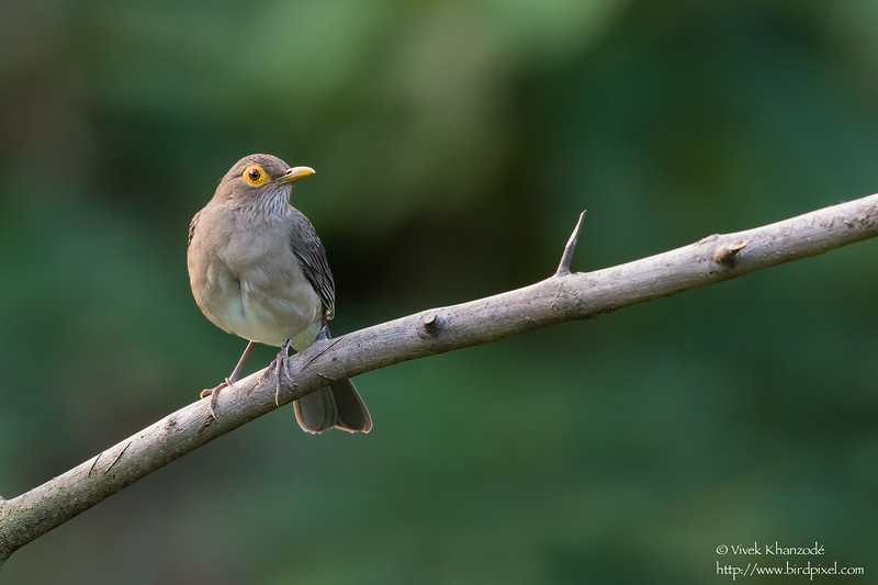 Spectacled Thrush - Asa Wright Nature Center, Trinidad