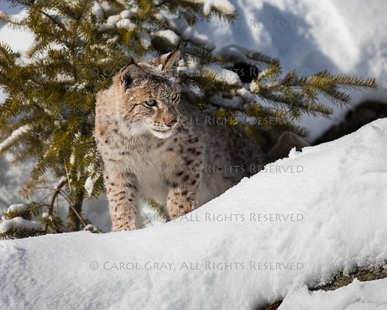 Siberian Lynx Gallery