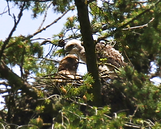 May 29, 2012 Redtailed hawk chicks with their mother on the nest Mom watches as one of hthe daredevils walks the edge of the nest