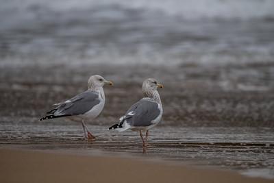 Arctic Herring Gull [Larus smithsonianus]