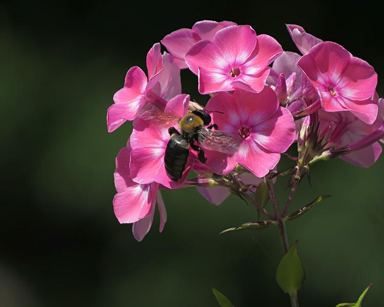 sx50_flora_blossoms_phlox_bumblebee_163.jpg