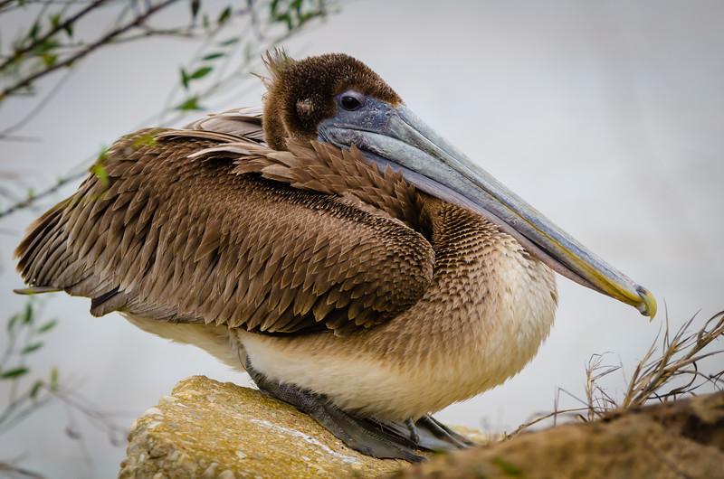 Pelican 2 012817 (1 of 1).jpg