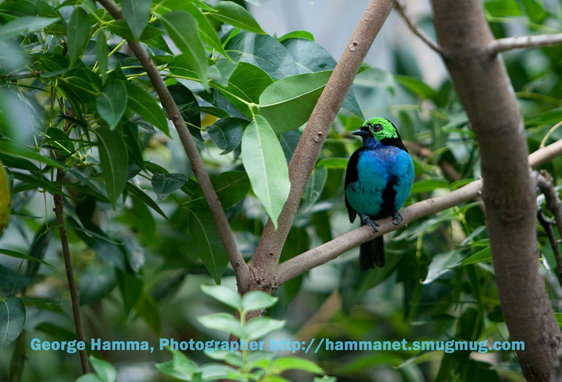 A paradise tanager.