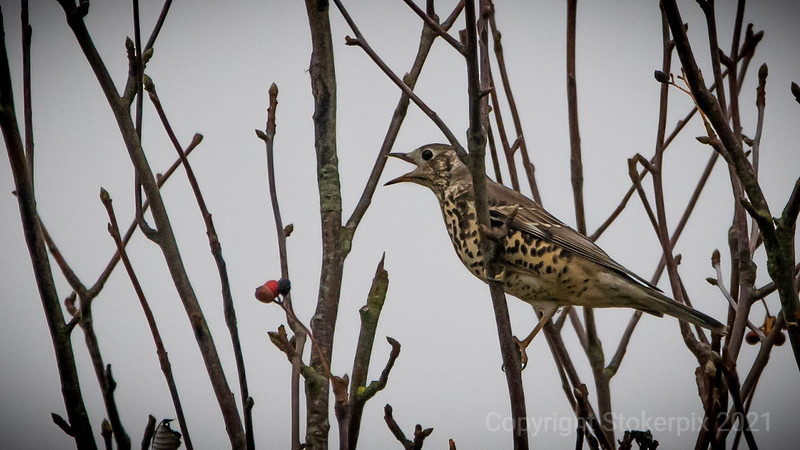Meadow Pipit (?)