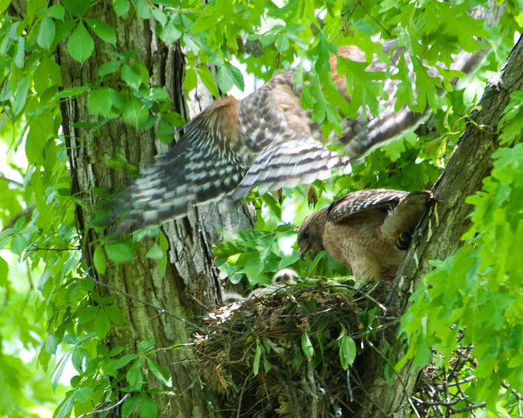 2010 Red Shouldered Hawk Nest 8030