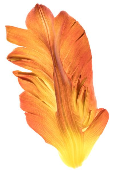 parrot tulip petal