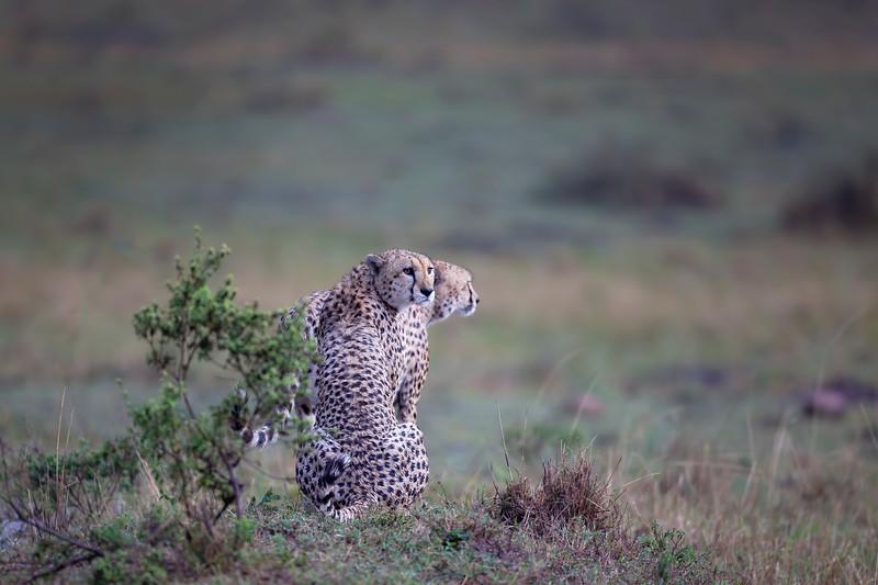 Cheetahs 8729.jpg