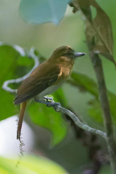 Bright-rumped Atilla - Record - Osa, Costa Rica