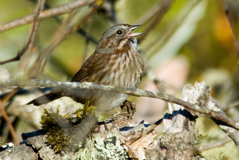 Sparrow - Song - Coquille, OR