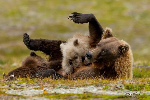 Coastal Brown Bears - Alaska
