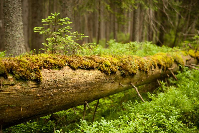 Přirozená obnova lesa - neodvážejme staré stromy! Nejsou mrtvé ani po smrti. Jsou domovem spoustě živočichů a rostlin.