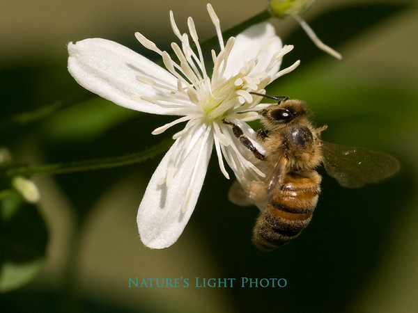 Bee on White Flower - Large File-9410.jpg