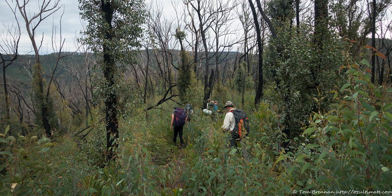 Eucalypt regrowth on Brumby Mountain