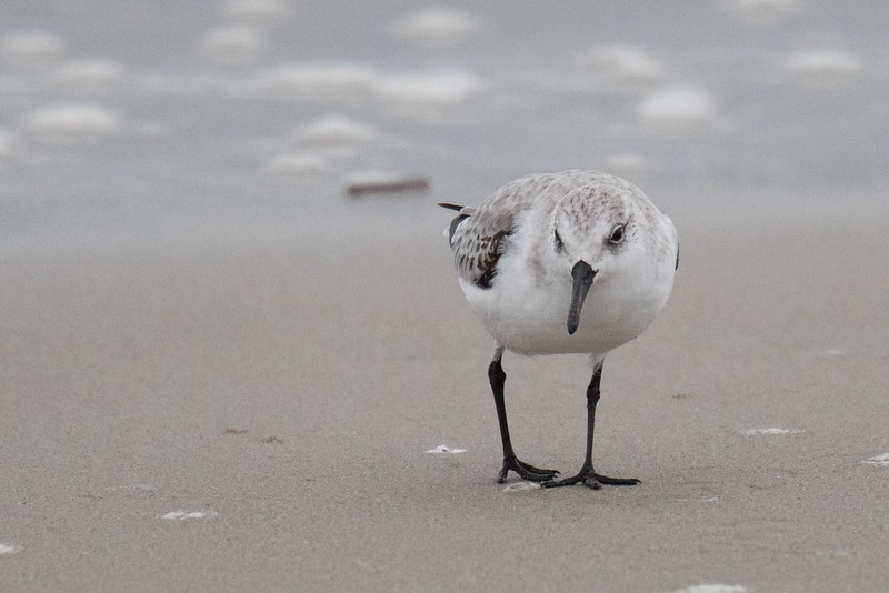 Sanderlings Fall 2019-2.jpg