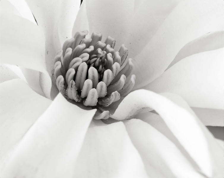 star-magnolia-01.jpg