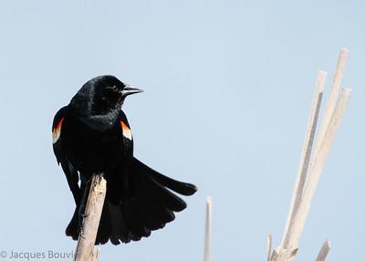 Songbirds 5 (Blackbirds...) - Les oiseaux chanteurs 5 (Les oiseaux noirs...)