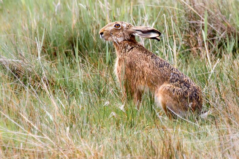 Mr Hare in Burgenland